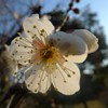 Ume et sakura